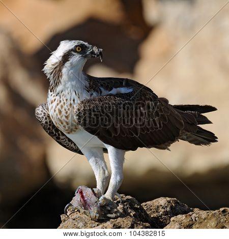Osprey On The Rock