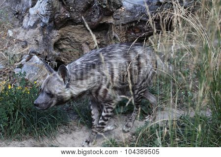 Striped hyena (Hyaena hyaena). Wild life animal.