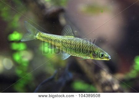 Stone moroko (Pseudorasbora parva), also known as the topmouth gudgeon. Wild life animal.