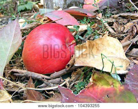 red autumn apple