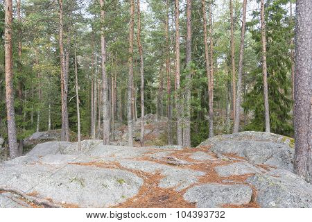 Pine Tree Forest On Top Of Rocky Ground