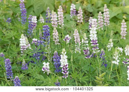 Lots Of Blue And White Lupines