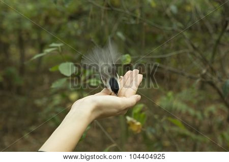 Chickadee Eats With Palms, Bird Perched On A Woman's Hand And Eating Bird Seed