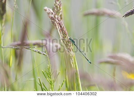 Damselfly on perched on a blade of grass