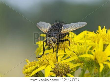 Tachinid fly resting on a dandelion flower