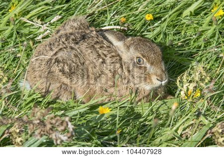 Hare, Lepus, juvenile sitting in the grass, close up