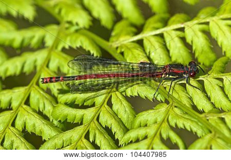 Red Damselfly perched on a green leaf