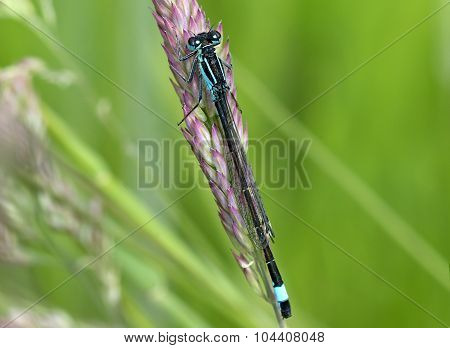 Damselfly perched on a blade of dry grass