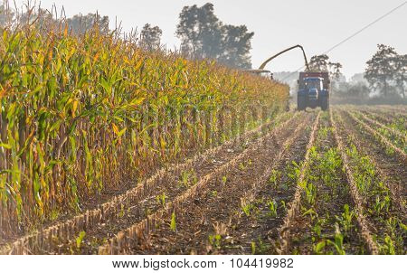 Mechanical Harvesting Of Maize Plants