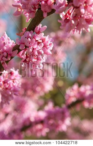 Pink Blossoms In Full Bloom On Eastern Redbud Tree