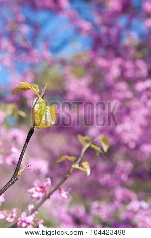 New Leaves Sprout Among Pink Blossoms On Eastern Redbud Tree
