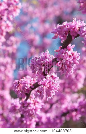 Pink Blossoms Blooming On Eastern Redbud Tree In Springtime