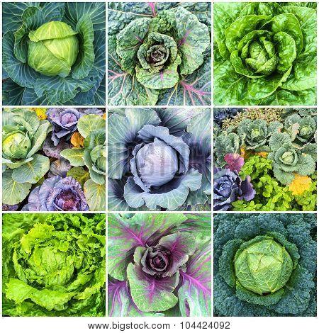 Leaf Vegetables, Cabbage And Lettuce Collage