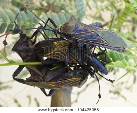 A Close Up Of Four Assassin Bugs