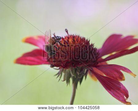 A Honey Bee On A Blanket Flower