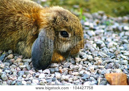 Holland Lop Rabbit on Pebbles