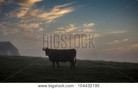 cow in the morning