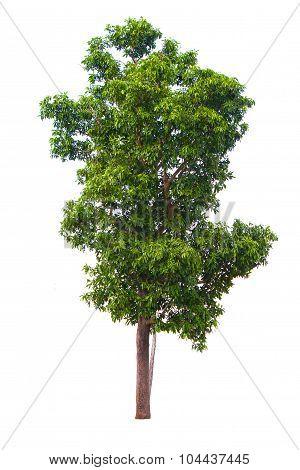Tree On White Background, Isolated