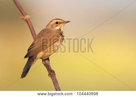 Bluethroat Outdoors Sits On A Cane