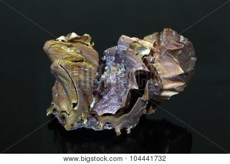 Cockscomb Oyster, Lopha Cristagalli,