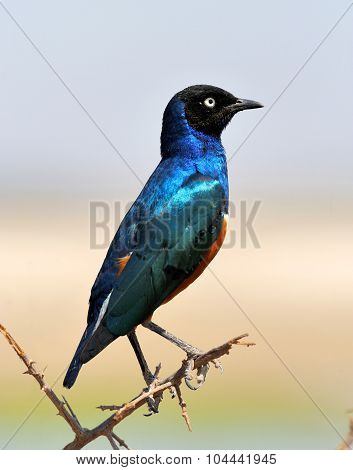 Colourful Bird Superb