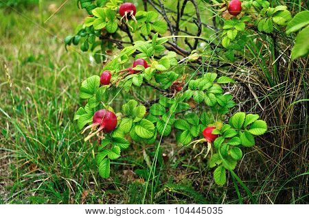 Summer Landscape With Rosehip Berries