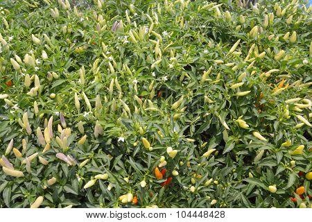 Spicy Chili Plant