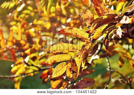 Mountain Ash Tree Branches In Sunny Light, Autumn Background
