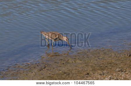 Lesser yellow legs, Tringa flavipes