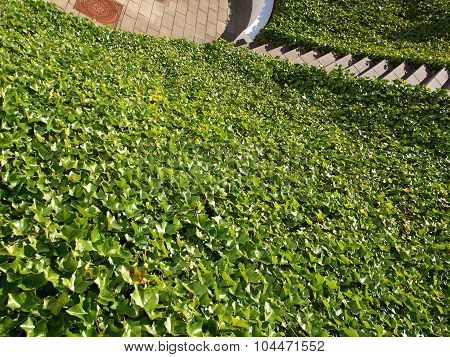 Ground With Covered With Ivy