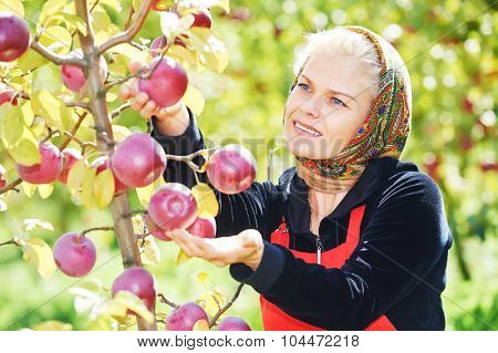 Young woman picking ripe apples from an tree on summer day in orchard