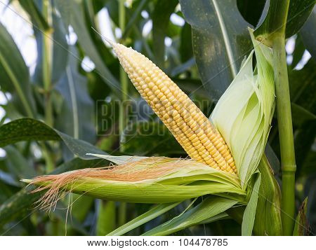 Close Up Corn On The Stalk