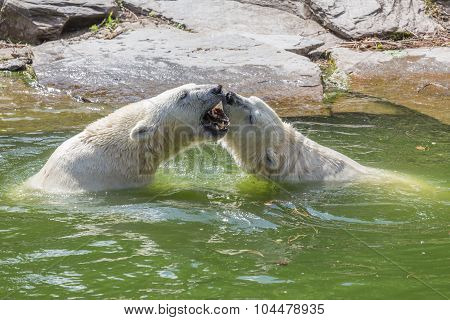 Two Polar Bears In The Fight