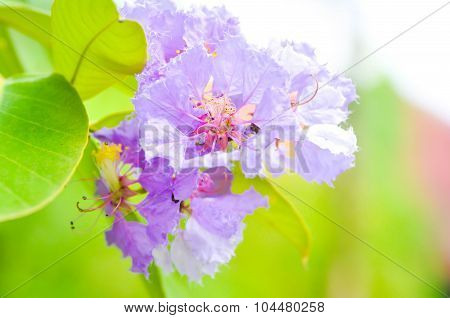 Nerium Oleander, Rose Bay ,purple Flower, Flower