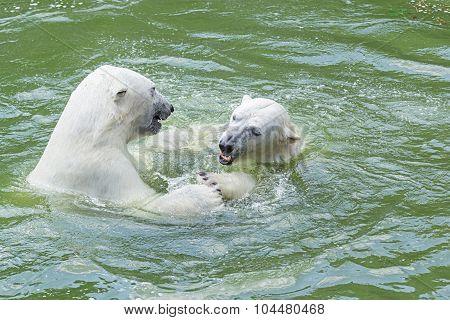 Polar Bears Dance