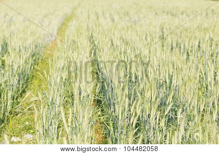 Green Barley Growing In A Field