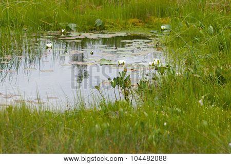 Small Pond In Bog Area With Water-lily Flowers
