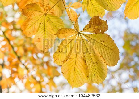 Closeup Of Chestnut Autumn Yellow Leaves