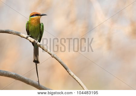 Böhm's Bee-eater (merops Boehmi) Calling From A Branch