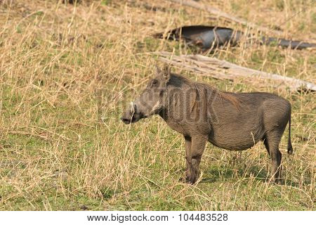 Common Warthog (phacochoerus Africanus) On A Grassy Plain