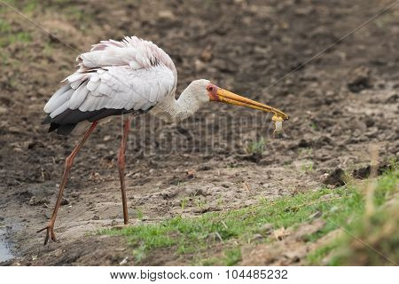 Yellow-billed Stork (mycteria Ibis) Holding A Frog In It's Bill