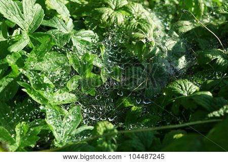 Spiderweb with water drops on green grass background