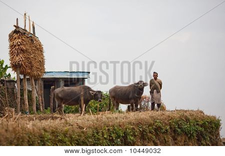 Gorkhas Man In National Clothes With Two Buffalo