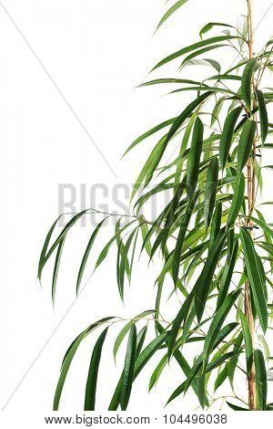 Macro of dracaena green leaves.
