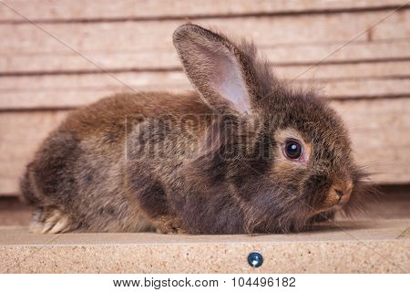 Picture of a cute lion head rabbit bunny lying on a wood box, looking at the camera.