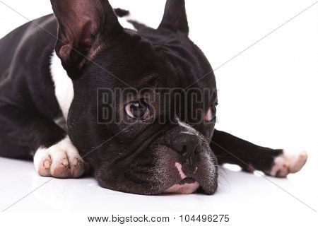 closeup of a sad french bulldog puppy dog looking to its side on white background