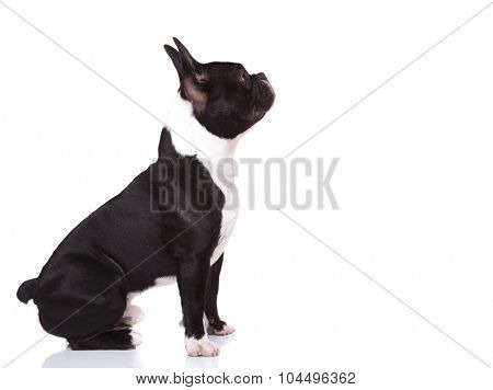 side view of a curious french bulldog puppy dog looking up to something, isolated on white background