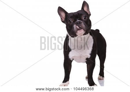 full body picture of a cute french bulldog puppy dog standing isolated on white background