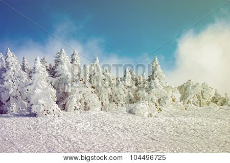 Snow-covered Fir-trees