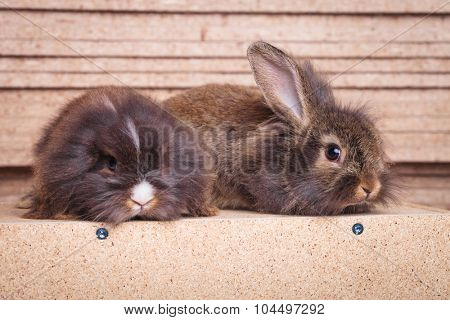 Side view of two adorable lion head rabbit bunnys lying on wood background, looking at the camera.